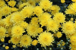 10th Chrysanthemum Exhibition @ Peace Park